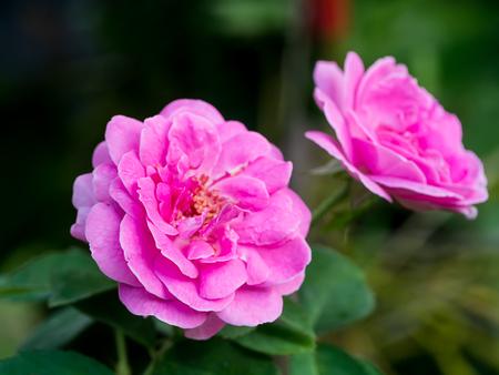 Photo for Pink of Damask Rose flower. (Rosa damascena) - Royalty Free Image