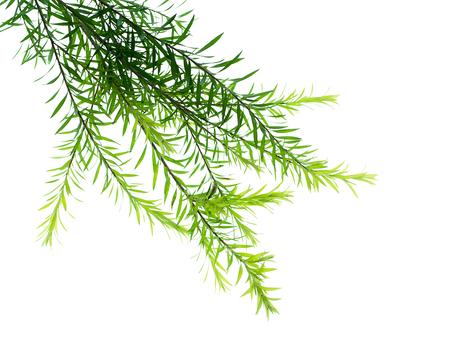 Photo for Melaleuca bracteata leaves on white background - Royalty Free Image