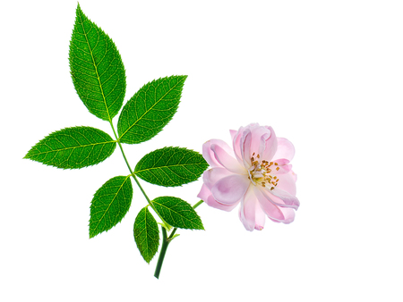 Photo for Close up pink of Damask Rose flower with leaves on white background. (Rosa damascena) - Royalty Free Image