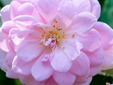 Photo for Close up pink of Damask Rose flower with leaves on blur background. (Rosa damascena) - Royalty Free Image