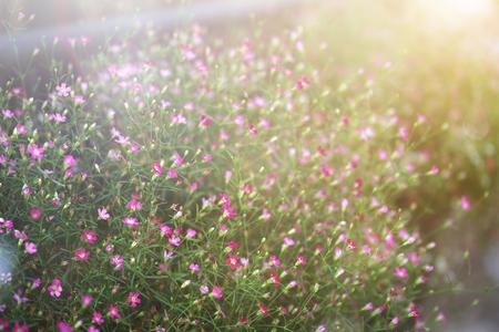 Foto für Close up Baby's Breath flower with sunlight. (Scientific name Gypsophila paniculata) - Lizenzfreies Bild