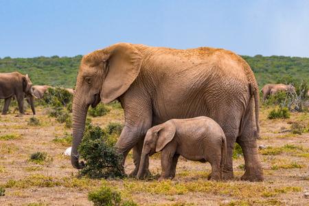 Photo pour African elephant group in the national park - image libre de droit