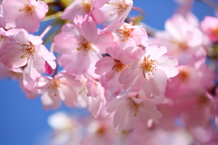 Photo for Japanese cherry blossom  - Royalty Free Image