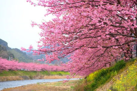 Photo for Pink cherry blossom, Kawazu cherry tree in shizuoka japan - Royalty Free Image