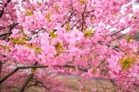 Pink cherry blossom, Kawazu cherry tree in shizuoka japan