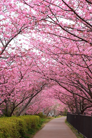 Photo for Sakura path, Kawazu cherry tree in shizuoka japan - Royalty Free Image