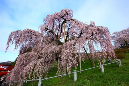 Cherry tree, Nema is MiharuTakizakura, Fukushima, Japan