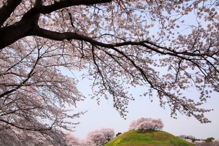 Cherry tree on the hill, Sakitama Kofun, Saitama, Japan