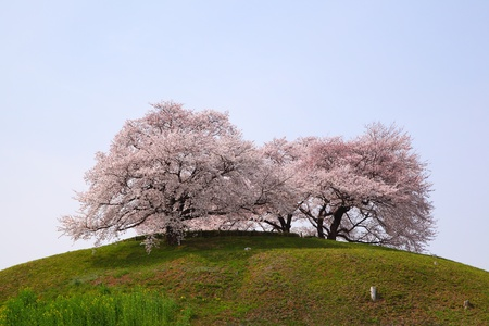 Photo for Cherry tree on the hill, Sakitama Kofun, Saitama, Japan - Royalty Free Image