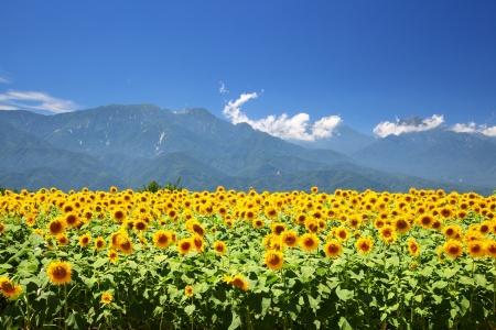 Foto de Sunflower field and mountain in summer, Japan - Imagen libre de derechos