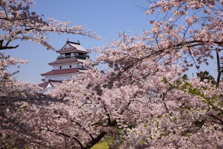 Aizuwakamatsu Castle and cherry blossom in Fukushima, Japan