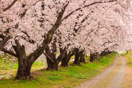 Cherry blossoms bloom path, Japan