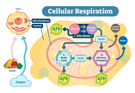 Ilustración de Cellular respiration is a set of metabolic reactions and processes that take place in the cells of organisms to convert biochemical energy from nutrients into adenosine triphosphate (ATP), and then release waste products. - Imagen libre de derechos