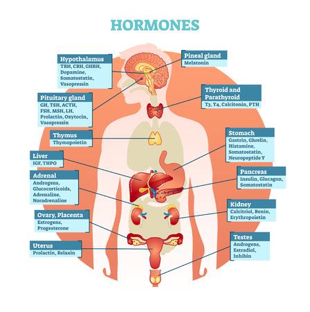 Illustration pour Human body hormones vector illustration diagram, human organ collection. Educational medical information. - image libre de droit