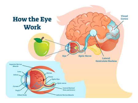 Illustration for How eye work medical illustration, eye - brain diagram, eye structure and connection with brains. - Royalty Free Image