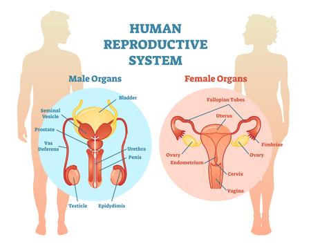 Illustration pour Human Reproductive System Vector Illustration Diagram, Male and Female. Medicine educational information. - image libre de droit