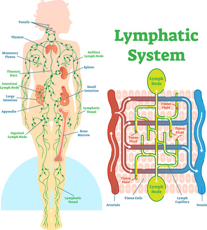 Illustration pour Lymphatic system anatomical vector illustration diagram, educational medical scheme with lymph nodes and tissue fluid circulation flow. - image libre de droit