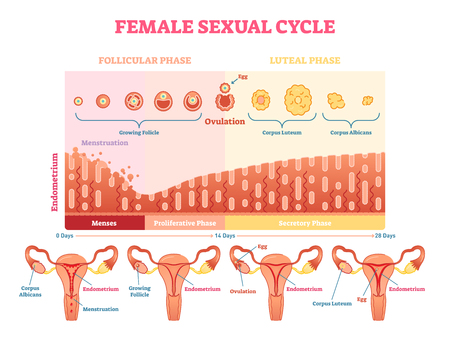 Ilustración de Female sexual cycle vector illustration graphic diagram with menstruation and ovulation chart and uterus visualizations. - Imagen libre de derechos