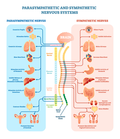 Illustration pour Human nervous system medical vector illustration diagram with parasympathetic and sympathetic nerves and all connected inner organs through brain and spinal cord. Educational information complete guide. - image libre de droit