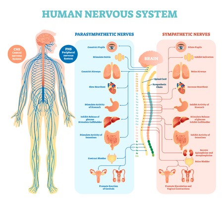 Illustrazione per Human nervous system medical vector illustration diagram with parasympathetic, sympathetic nerves and all connected inner organs through brain and spinal cord. Educational information complete guide. - Immagini Royalty Free
