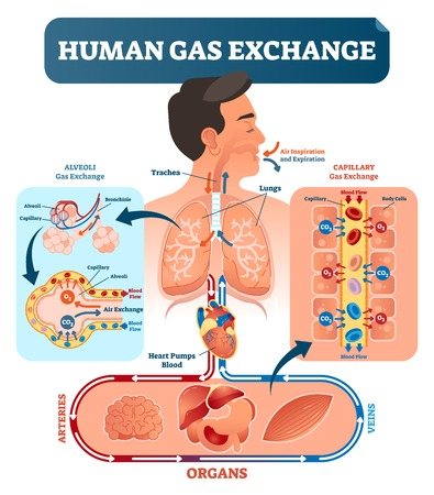Illustration pour Human gas exchange system vector illustration. Oxygen travel from lungs to heart, to all body cells and back to lungs as CO2. Red blood cells transporting oxygen from alveoli capillary to all organs. - image libre de droit