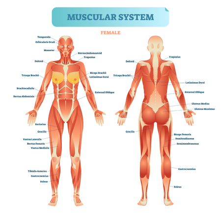 Illustration pour Female muscular system, full anatomical body diagram with muscle scheme, vector illustration educational poster. - image libre de droit