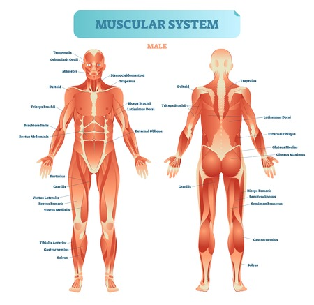 Illustration pour Male muscular system, full anatomical body diagram with muscle scheme, vector illustration educational poster. - image libre de droit