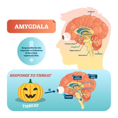 Illustration pour Amygdala medical labeled vector illustration. Anatomical scheme with visual thalamus, cortex and response to threat. Diagram with cerebrum, thalamus and corpus callosum. - image libre de droit