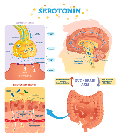Illustration pour Serototin vector illustration. Labeled diagram with gut brain axis and CNS. Intestinal microbiota influence brain behavior and intestinal cycle. Educational infographic. - image libre de droit