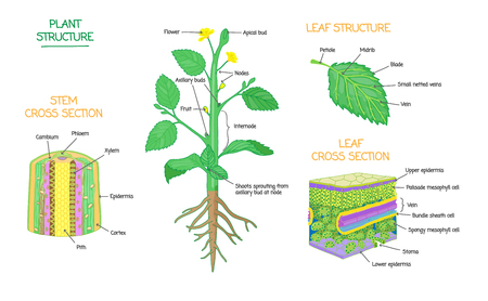 Ilustración de Plant structure and cross section diagrams, botanical microbiology vector illustration schemes collection. Stem and leaves labeled closeup drawings with layers and cells. Educational biology poster. - Imagen libre de derechos