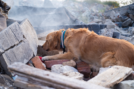 Photo for Dog looking for injured people in ruins after earthquake. - Royalty Free Image