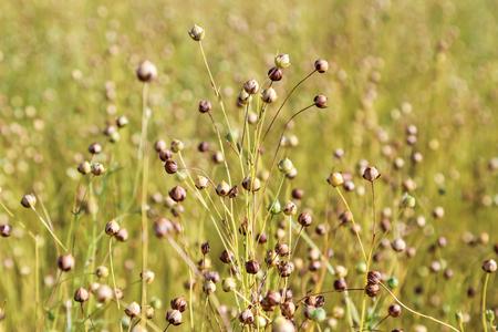 Foto de Field of flax plant, close up - Imagen libre de derechos