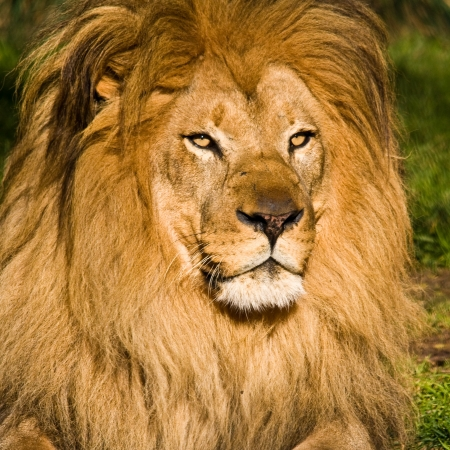 Male lion at the Zoo.