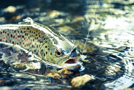 Photo pour Fly Fishing Trout - image libre de droit