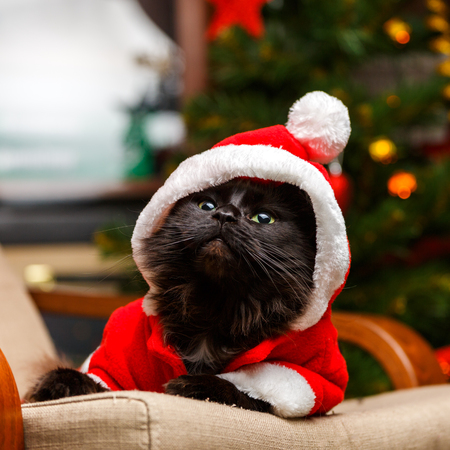 Photo for Picture of festive cat in santa costume looking up - Royalty Free Image