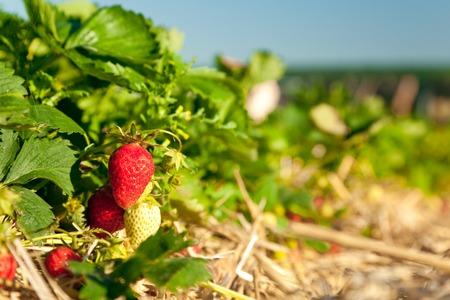 Foto de Strawberry Field - Imagen libre de derechos