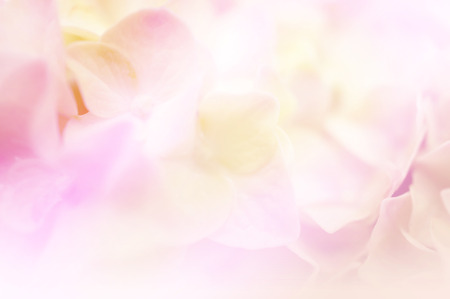 Photo for Sweet color hydrangea in soft color and blur style for background - Royalty Free Image