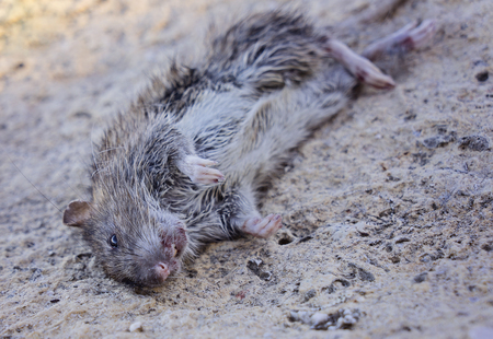 Photo for Rodent Fact, Identification. Rat Rodent Control is Sanitation, Inspection and Exclusion concept, selective focus, close up - Royalty Free Image