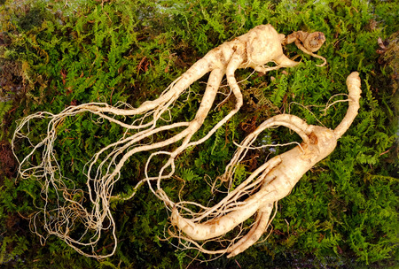Foto für Wild Korean ginseng root. Wild ginseng can be processed to be red or white ginseng. Ginseng has been used in traditional medicine. - Lizenzfreies Bild