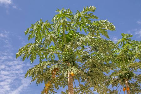 Photo for Full view of a papaya tree with blue sky as background, typically tropical tree... - Royalty Free Image