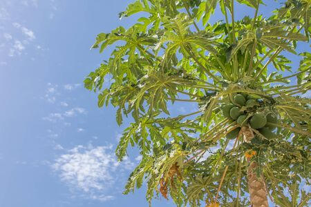 Photo for View of papaya tree with detailed growing papayas, typically tropical tree... - Royalty Free Image