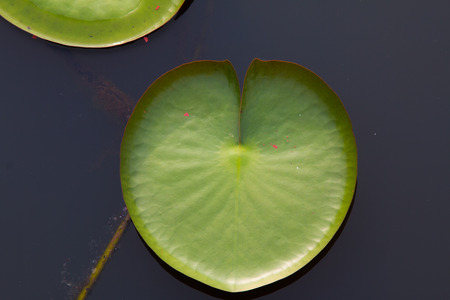 Foto de The leaf of lotus on the outdoor - Imagen libre de derechos