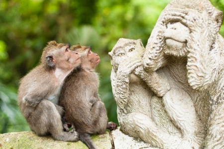 Photo pour Long-tailed macaques (Macaca fascicularis) in Sacred Monkey Forest, Ubud, Indonesia - image libre de droit
