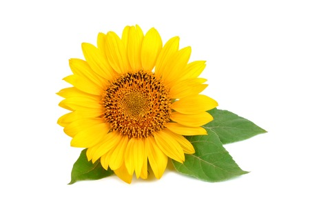 Foto de Beautiful sunflower on white background. - Imagen libre de derechos