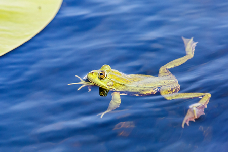 Photo pour Close up photo of green bullfrog in the water - image libre de droit