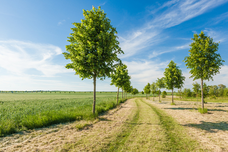 Photo pour Green field and young trees bordering a path on a sunny summer day. - image libre de droit