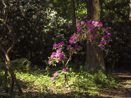 Photo pour beautiful blossom of rhododendron flowers, nice landscape - image libre de droit