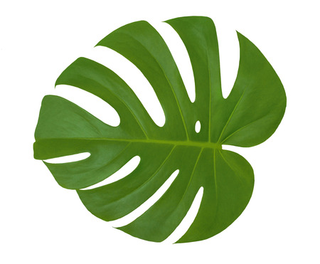 Photo for Isolated beautiful green leaf Monstera plant on a white background. Closeup texture of Philodendron leaf with holes (palm tree). Useful for 3d texturing to create an exotic tropical nature outdoors - Royalty Free Image