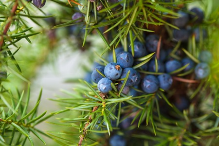 Photo for Juniper on the bush. Close up berries in the forest - Royalty Free Image