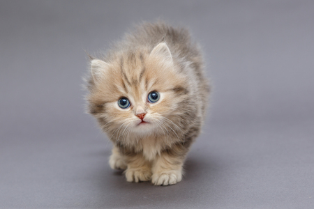 Foto de Small shaggy kitten British breed, on a gray background - Imagen libre de derechos